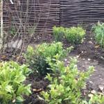Plantation d'arbustes de milieu ombragé