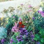 Arrivée des papillons...